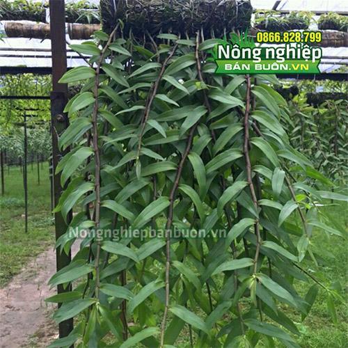 Dớn trụ trồng lan kích thước 40x10cm GT22