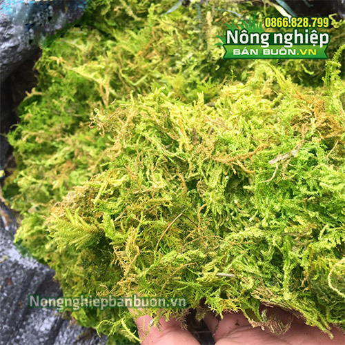 Rêu rừng trồng lan, hoa và cây cảnh GT32